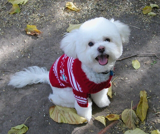 fluffy dog wearing a sweater