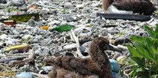 albatross-film-plastic-feed-animals-no-matter-far-away-fly
